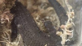 トゥストラヨルトカゲ(Lepidophyma tuxtlae)