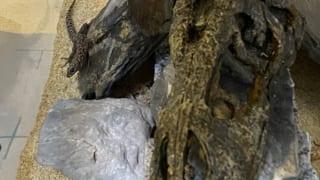 ミカゲヨアソビトカゲの飼育環境