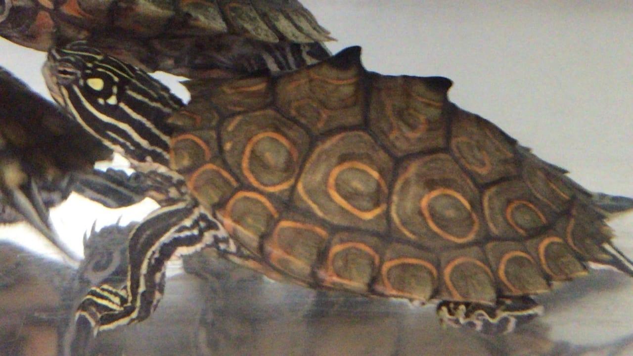 ワモンチズガメ(紅あずま)
